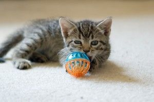 adoptar-gatos-cachorros-felinos-animales-mascotas-adopcion-acogida-art